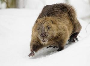 winter-beaver